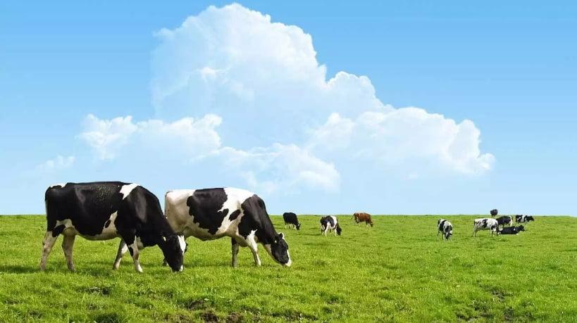 merada yetişmiş otla beslenen sığır kaynaklı saf kolajen peptit